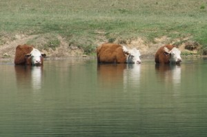 Swimming Cows